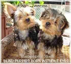 Help Florida Yorkie Rescue Today