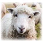 lamb-f